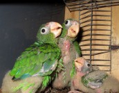 These are from the DNER aviary at Rio Abajo Forest